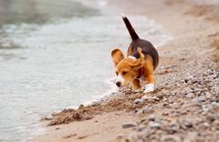 Little beagle puppy runs on the coast line - stock photo