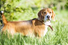 Purebred beagle portrait in green grass - stock photo