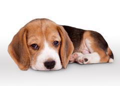 Tiny beagle puppy wit pitiful eyes - stock photo