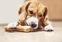 Young beagle gnaws bone Stock Photos