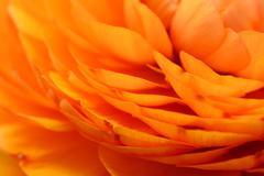 Orange ranunculus petals Stock Photos