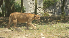 Cougar walking in the cougar zoo enclosure at Xcaret Park, Mexico - stock footage