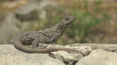 Reptile relaxing on a rock at Xcaret Park, Mexico Stock Footage