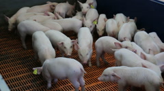 Fattening pigs in a modern farm - stock footage