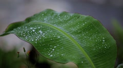 Dew on young banana leaf Stock Footage