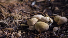 4K Time lapse of  mushrooms growing in nature Stock Footage