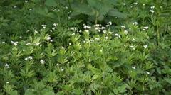 Sweet woodruff in woodrush beech forest spring season Stock Footage