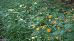 Giant buttercup flowers close up in forest Stock Footage