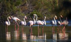 Greater flamingos, phoenicopterus roseus, Camargue, France - stock photo