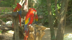 Colorful parrots sitting on branches at the Xcaret Park Zoo, Mexico Stock Footage