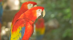 Colorful parrots with white beak at Xcaret Park, Mexico - stock footage