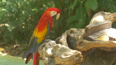 Parrot shaking its head and scratching at Xcaret Park, Mexico Stock Footage