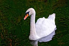 Swan white in the pond Stock Photos