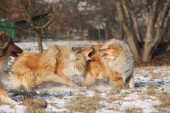 Scotch collies playing in winter Stock Photos