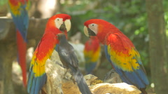 Parrots and a little black bird sitting on branches at Xcaret Park, Mexico Stock Footage