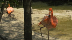 Flamingo cleaning its feather and sleeping at Xcaret Park, Mexico Stock Footage