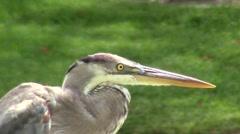Close-up of Blue Heron Bird Flies Away Stock Footage