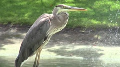 Close-up of Blue Heron Bird by Lake Stock Footage