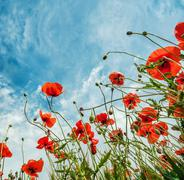 Blossom poppies flowers on blue sky background - stock photo