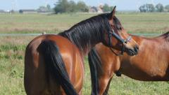 Two shiny stallions in the sun Stock Footage