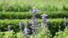 Beautiful blue Salvia flowers in the garden Stock Footage