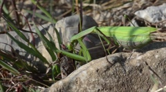 Praying mantis  is eating a grasshopper in the grass Stock Footage