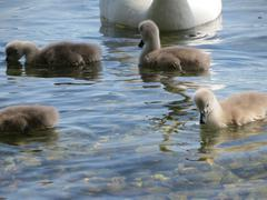 Swans few days old Stock Photos