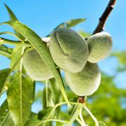 Stock Photo of a branch of almond tree with some green almonds