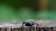 Long-horned beetle is moving Stock Footage