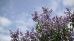 Lilac branches on the sky background Stock Footage