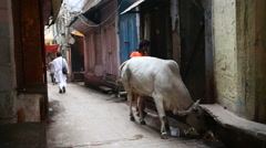 Cow tied in a narrow street in Varanasi, with people passing by. Arkistovideo