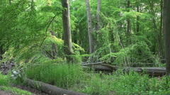 Magic green woodrush beech forest spring season Stock Footage