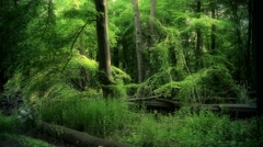 4k Dark mystery woodrush beech forest spring season Stock Footage