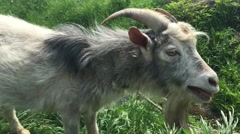 Old goat with a beard grazes on a rope. Stock Footage