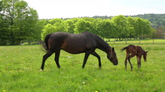 Horses on the meadow in spring day. Stock Footage