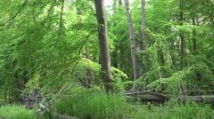 4k Green woodrush beech forest tilt up spring season Stock Footage