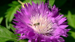 Bee and beetle on purple flower. Stock Footage