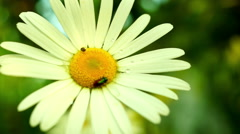 Daisy (Chrysanthemum Leucanthemum) With Water Drops And Bugs Stock Footage