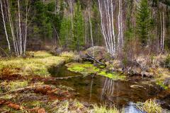 Swampy stream in Altay Taiga - stock photo