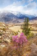 Altai landscape with Rhododendron dauricum flowers - stock photo