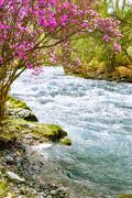 Rhododendron dauricum over river Ilgumen - stock photo