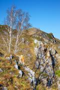 Birch on the cliff in Altai mountains Stock Photos
