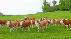 Cows and calves grazing on a field Stock Footage