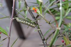 Monarch caterpillar eating milkweed leaves Stock Photos