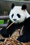 giant panda bear Sichuan China - stock photo