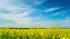 canola field, timelapse with crane - stock footage