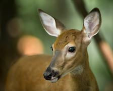 Young Whitetail Deer on Alert in the Woods Stock Photos