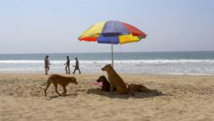 Alappuzha beach, south india, dogs under a sun parasol Stock Footage