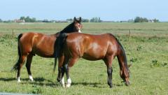 Two shiny brown stallions in green pastures Stock Footage