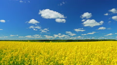 canola field, panorama - stock footage